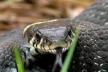 Метрова змія прикувала увагу школярів поблизу дитячого майданчика (Відео)