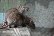 Осіння дератизація. У Львові труять щурів