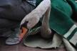 У Львові в Стрийському парку на озеро випустили лебедів (Фото, відео)