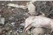 На Львівщині біля кар'єру скидають туші свиней
