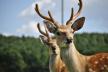 На Львівщині невідомі браконьєри застрелили молоду вагітну олениху