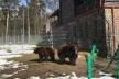Ведмежий притулок біля Львова прийме 8 нових вихованців
