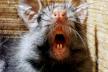 Львів'яни нарікають на засилля щурів у центрі міста
