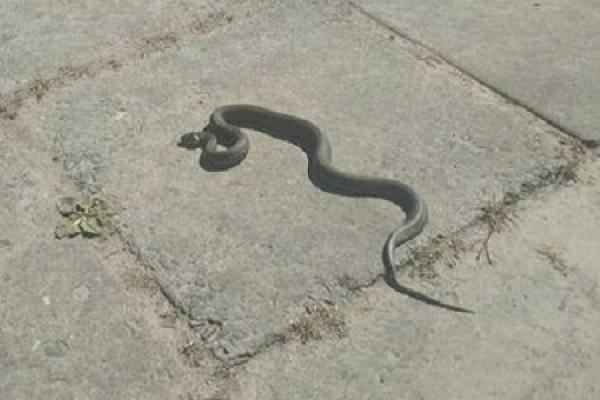 У Львові посеред міста повзала змія (Відео)