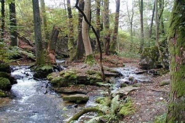 Заповідник Розточчя – останнє у світі місце, де можна побачити поєднання унікального природного лісу