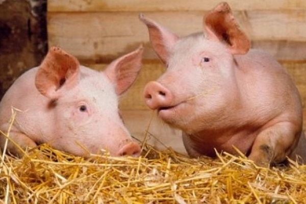На Львівщині вирощують пивних свиней