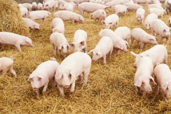 На Львівщині виявили перший спалах захворювання африканської чуми свиней