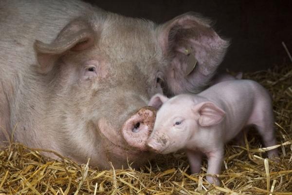 Через африканську чуму свиней експорт свиней із Львівщини обмежено