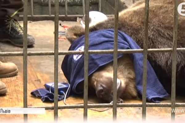 «15 років полону»: У Львові з ресторану нарешті забрали ведмедицю Машу (Відео)