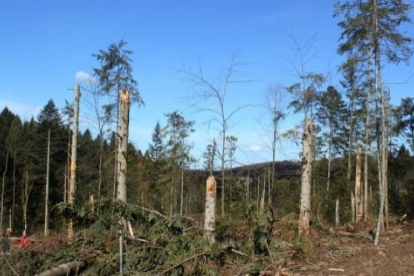 У Стрийському лісництві незаконно вирубують ліс