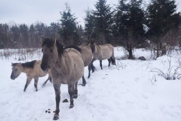 Нащадків тарпанів можна побачити лише на Львівщині