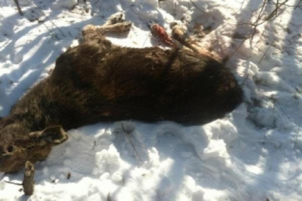 На Львівщині лося вбили протитанковою ракетою