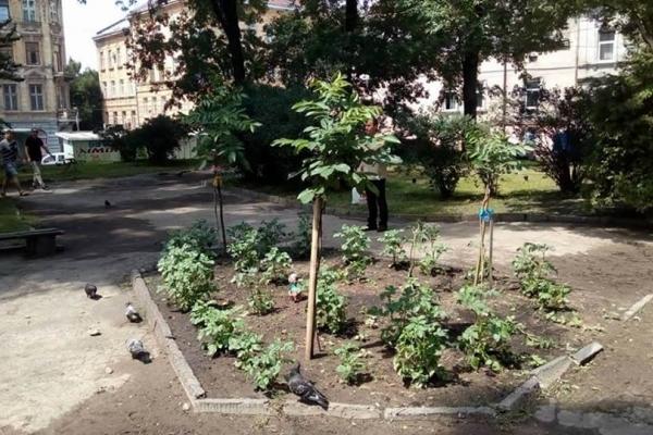 На клумбі у центрі Львова безхатьки висадили картоплю (Фото)