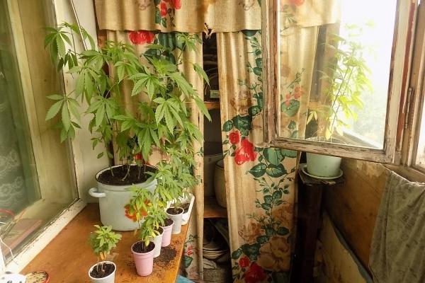 У чоловіка, який вигнав стареньку матір на вулицю, на балконі виявили «врожай» коноплі