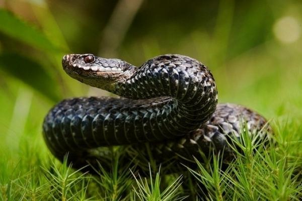 На Сколівщині жінка потрапила до лікарні через укус змії
