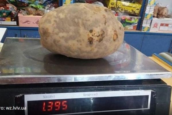 Львівські фермери виростили картоплину гігантської величини
