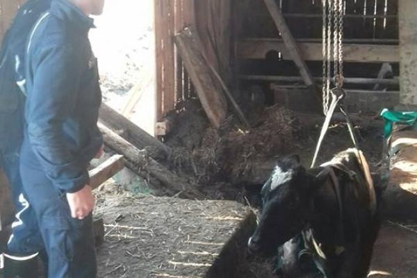 Як бориславські надзвичайники корову рятували? (Фото)