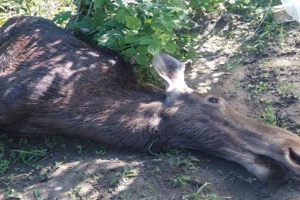 У Львові лось забіг на приватне подвір'я і помер (Відео)