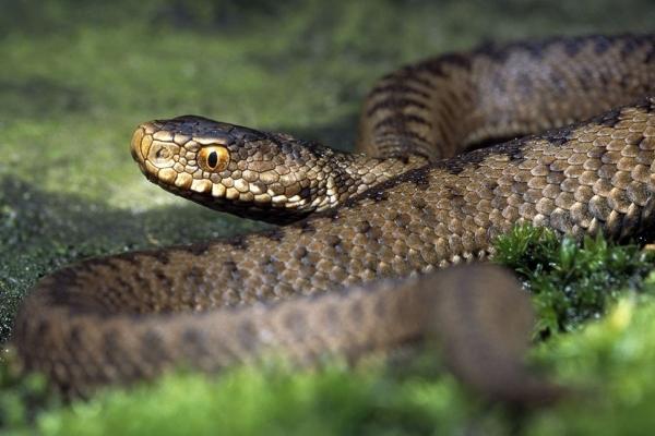 На дорозі посеред села 9-річну львів'янку вкусила змія: дитину госпіталізували