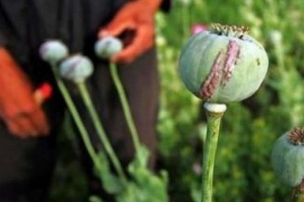 На Львівщині 53-річний чоловік незаконно вирощував снодійний мак