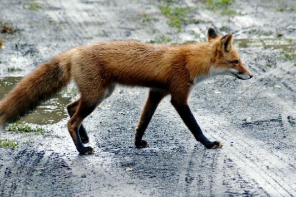 У Львові зафіксували третій випадок сказу тварин