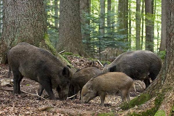 Львів'ян попередили про небезпеку прогулянок у міському парку, де оселилися дикі кабани