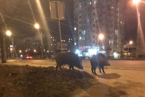 На Богдана Хмельницького помітили пару диких кабанів (Фото)