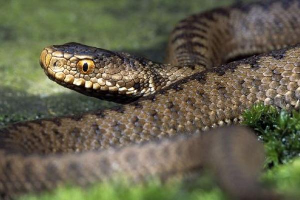 В Жидачівському району 63-річну жінку вкусила змія