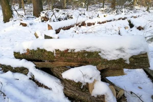 Екологи звинувачують Стрийський лісгосп у «сірих схемах» вирубування дерев
