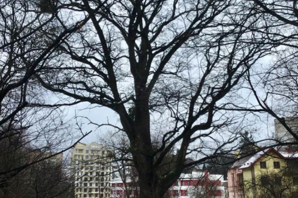 У Львові 150-літній дуб оголосили пам'яткою природи місцевого значення