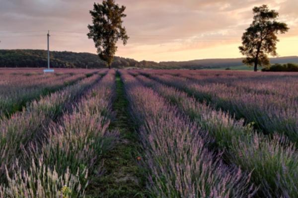 На Львівщині зацвіли «казкові поля» лаванди